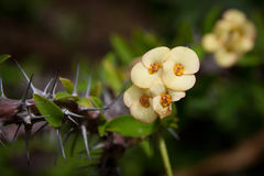 Euphorbia milii (Crown-of-thorns or Christ Plant) Stock Photo