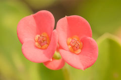 Euphorbia milii or crown of thorns or Christ plant or Christ tho Royalty Free Stock Image
