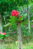 Euphorbia milii Stock Photography