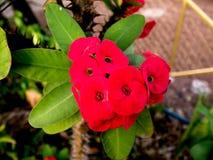 Euphorbia milii Royalty Free Stock Image