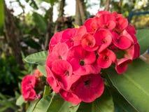 Euphorbia milii Royalty Free Stock Photography
