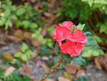 Euphorbia milii crown of thorns, Christ plant, Christ thorn. Euphorbia milii is a species of flowering plant in the spurge family Euphorbiaciae, native to royalty free stock photography
