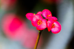 Euphorbia milii, crown of thorns, Christ plant, Christ thorn, vi Royalty Free Stock Image
