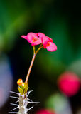Euphorbia milii, crown of thorns, Christ plant, Christ thorn, vi Royalty Free Stock Images
