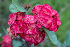 Euphorbia milii, the Crown of Thorns Flowers stock photo