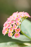 Euphorbia milii or crown of thorns is a species of flowering pla Stock Images