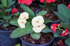 Euphorbia milii Flower Stock Photography