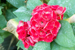 Euphorbia milii Flower Royalty Free Stock Photography