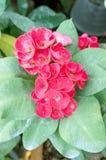 Euphorbia milii Flower Royalty Free Stock Image