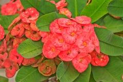 Euphorbia milii flowers. Closeup of euphorbia milii flowers stock photography