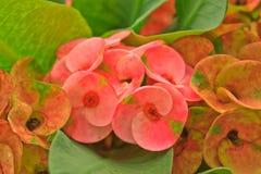 Euphorbia milii flowers. Closeup of euphorbia milii flowers stock image