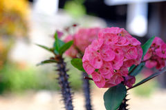Euphorbia milii flowers Royalty Free Stock Photos