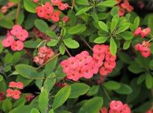 Euphorbia milii. Stock Image