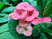 Euphorbia milii Flowers Royalty Free Stock Photography