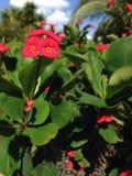 Euphorbia Milii Flowers in Miami. Stock Photos