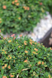 Euphorbia milii flowers with the nature Stock Images