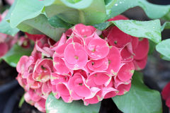 Euphorbia milii flowers with the nature Royalty Free Stock Photo