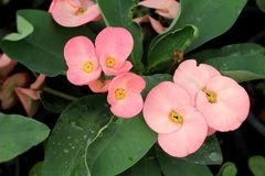 Euphorbia milii flowers with the nature Royalty Free Stock Photography