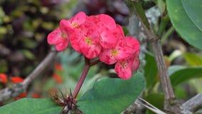 Euphorbia milii flowers stock video footage