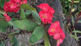 Euphorbia milii flowers stock footage