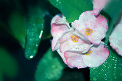Euphorbia milii flowers - Stock Image Royalty Free Stock Images