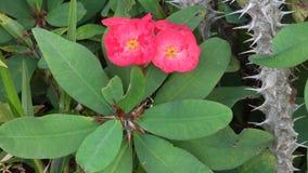 Euphorbia milii flowers stock video