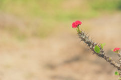 Euphorbia milii flowers and Vintage Style Stock Photos