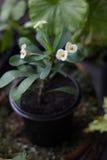 Euphorbia milii - Home plant with white flowers Stock Photos