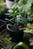 Euphorbia milii - Home plant with white flowers Royalty Free Stock Photo