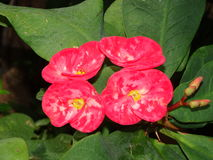 Euphorbia milii (hot pink cactus Thai flower) Royalty Free Stock Images