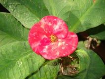 Euphorbia milii (hot pink cactus Thai flower) Stock Photos