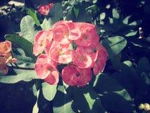 Euphorbia milii - red flower Stock Image