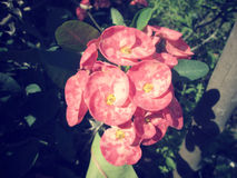 Euphorbia milii - red flower Royalty Free Stock Image