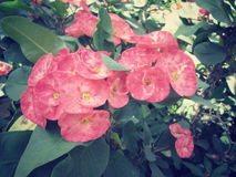 Euphorbia milii - red flower Stock Photos