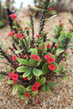 Euphorbia Milii Succulent Plant. Euphorbia Milii Crown of Thorns, Euphorbiaceae, Succulent, Green Plant with red flower in garden and park. easy growing. less Royalty Free Stock Photography