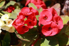 Euphorbia milii is a succulent plant Stock Image