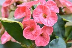 Euphorbia milli 1 Royalty Free Stock Photos