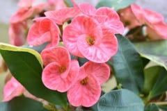 Euphorbia milli 1 Stock Image