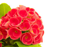 Euphorbia Milli Desmoul Stock Images