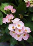 Euphorbia milli Desmoul flowers Stock Images