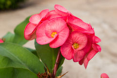 Euphorbia milli Desmoul Stock Image
