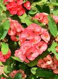 Euphorbia milli Desmoul Stock Photo