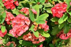 Euphorbia milli Desmoul Stock Photos