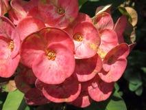 Euphorbia milli flowers Stock Image