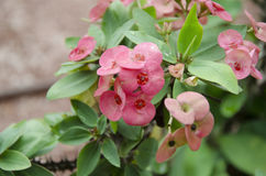Euphorbia milli`s pink. With green leaves growing in pots and water from rain on the leaves Royalty Free Stock Photo
