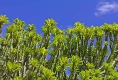 Euphorbia neriifolia L. (E. ligularia Roxb.) Mescal Tree Stock Photo