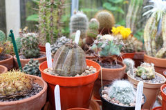 Euphorbia Obesa in pot in greenhouse. With other succulents royalty free stock photo