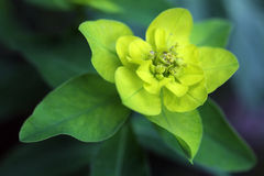 Euphorbia Palustris - Marsh Spurge plant Royalty Free Stock Image
