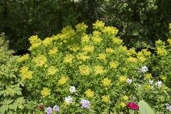 Euphorbia palustris Stock Image