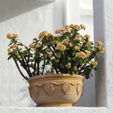 Euphorbia Royalty Free Stock Photo